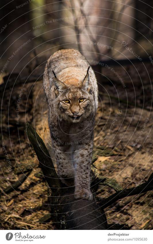 Unter gegenseitiger Beobachtung Katze Natur Ferien & Urlaub & Reisen Pflanze Landschaft Tier Ferne Wald Umwelt Frühling Wildtier Tourismus authentisch