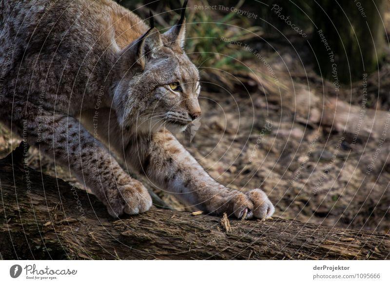 Das Opfer im Blick Katze Natur Pflanze Landschaft Tier Wald Berge u. Gebirge Umwelt Frühling Gefühle Kraft Wildtier Erfolg Schönes Wetter Abenteuer Macht