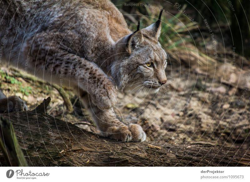 Der alte Luchs ist wieder unterwegs Ferien & Urlaub & Reisen Safari Expedition Berge u. Gebirge Umwelt Natur Landschaft Pflanze Tier Schönes Wetter Wald Urwald
