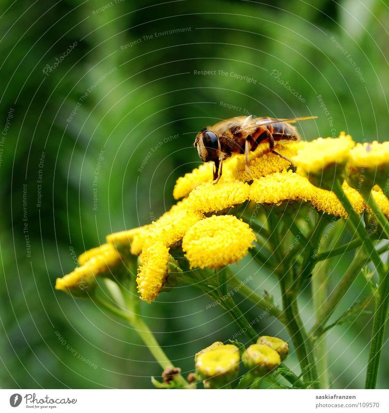 Naschen. grün gelb Blume Blüte Pollen Pflanze Sommer Tier Insekt stechen Staubfäden bestäuben mehrfarbig Bestäubung Nektar fliegen sammlen