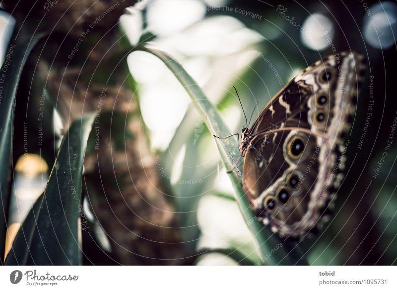 Butterfly Natur Landschaft Pflanze Schönes Wetter Blatt Tier Schmetterling Flügel 1 sitzen ästhetisch elegant hell nah schön bananenfalter Farbfoto