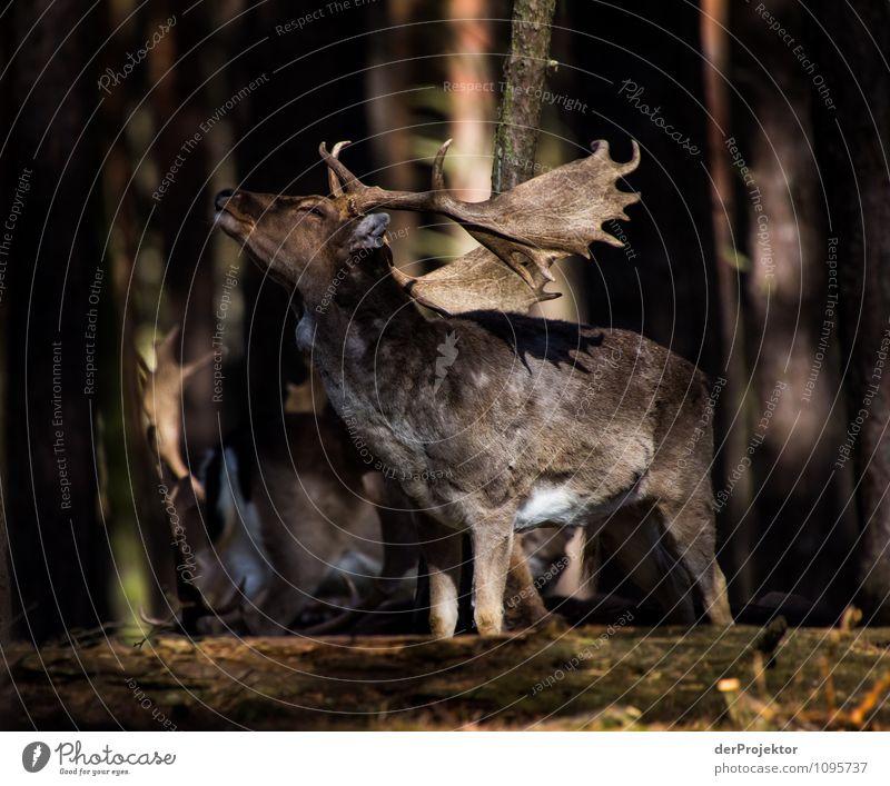 Brunftzeit im Frühling Natur Ferien & Urlaub & Reisen Pflanze Landschaft Tier dunkel Wald Umwelt Gefühle Kraft Wildtier authentisch Erfolg wandern Tiergruppe