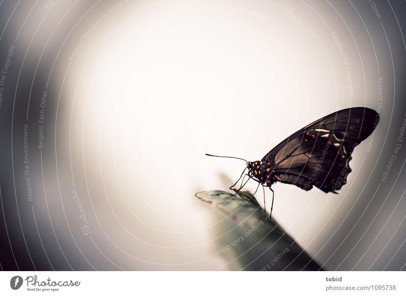 Butterfly Natur grün Erotik Tier schwarz klein hell elegant frei sitzen ästhetisch Flügel Stengel Schmetterling Fühler