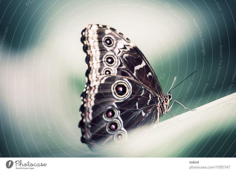 Der Bananenfalter Pt.2 Natur Tier Schmetterling Flügel Fühler 1 ästhetisch elegant exotisch kalt nah Stengel hocken ruhen Farbfoto Außenaufnahme Detailaufnahme