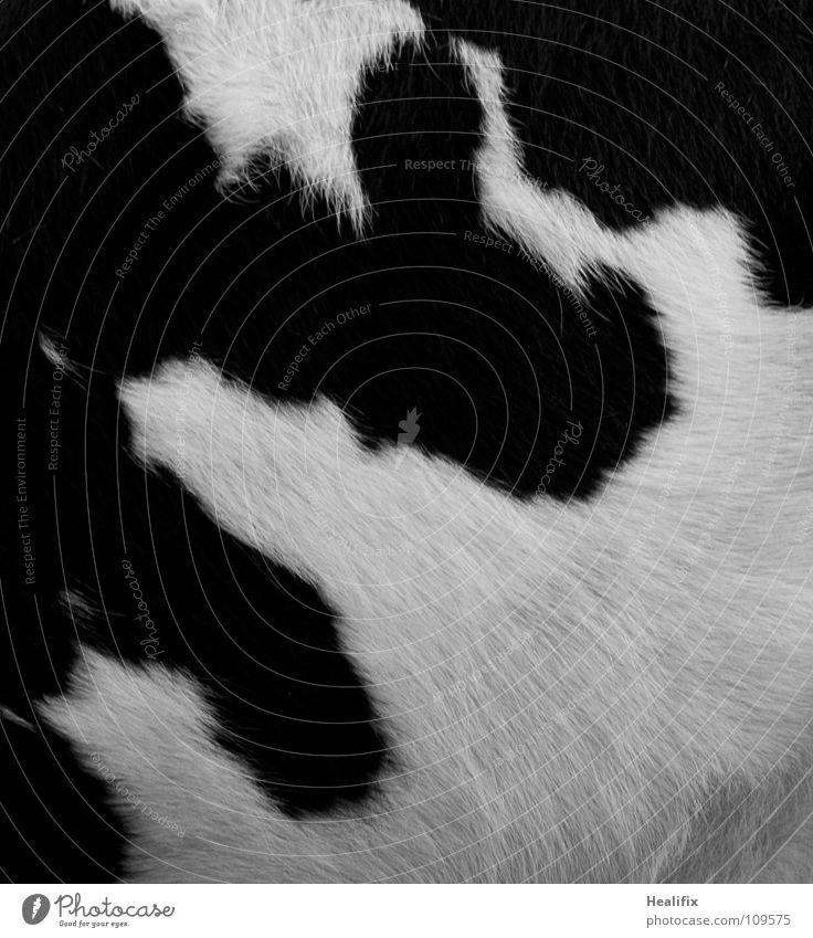 Kuh Fell weiß schwarz Tier Ernährung Umwelt Lebensmittel Stil Design Lifestyle weich Kitsch nah Landwirtschaft