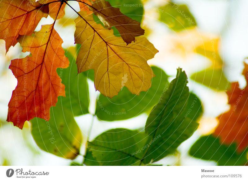 kommen und gehen mehrfarbig Baum eckig einzigartig Pflanze gelb grün Herbst Herbstlaub Herbstfärbung Jahreszeiten Laubbaum rot Biologie Buche Eiche Ahorn Garten
