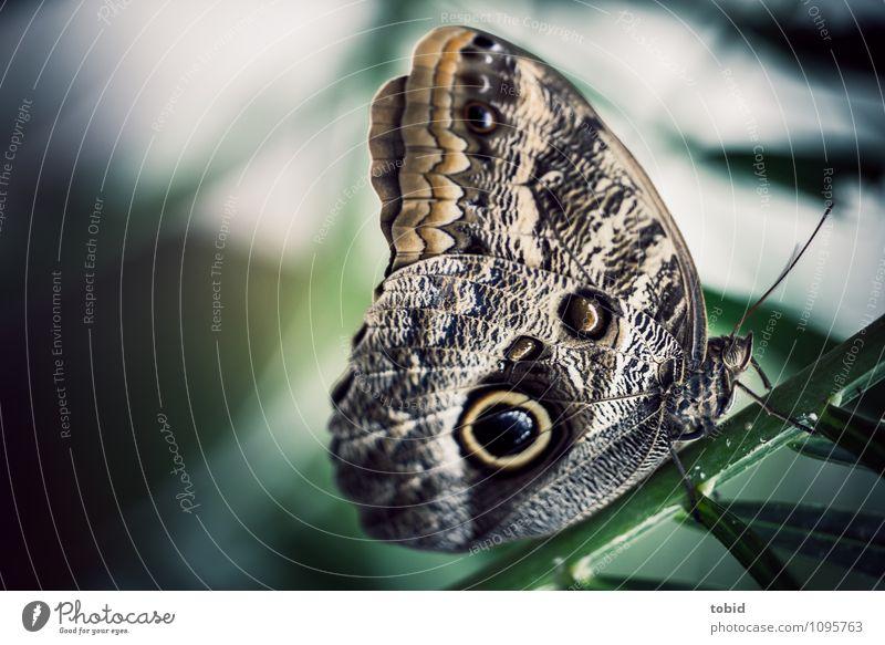 Der Bananenfalter Pt.3 Natur Pflanze Grünpflanze Stengel Schmetterling Flügel sitzen ästhetisch elegant schön nah braun grün hocken Fühler Makroaufnahme