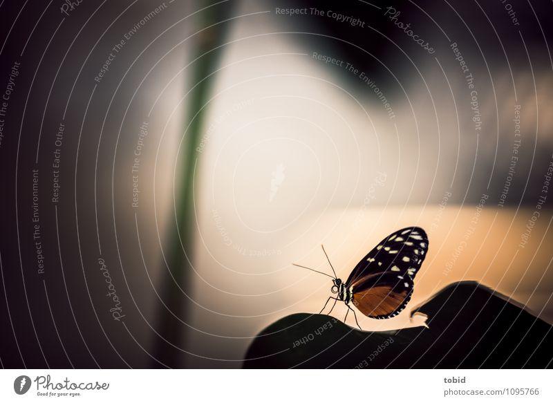 Butterfly Natur Pflanze Tier Schönes Wetter Blatt Schmetterling Flügel Fühler 1 sitzen ästhetisch elegant exotisch nah grün orange schwarz Stengel hocken