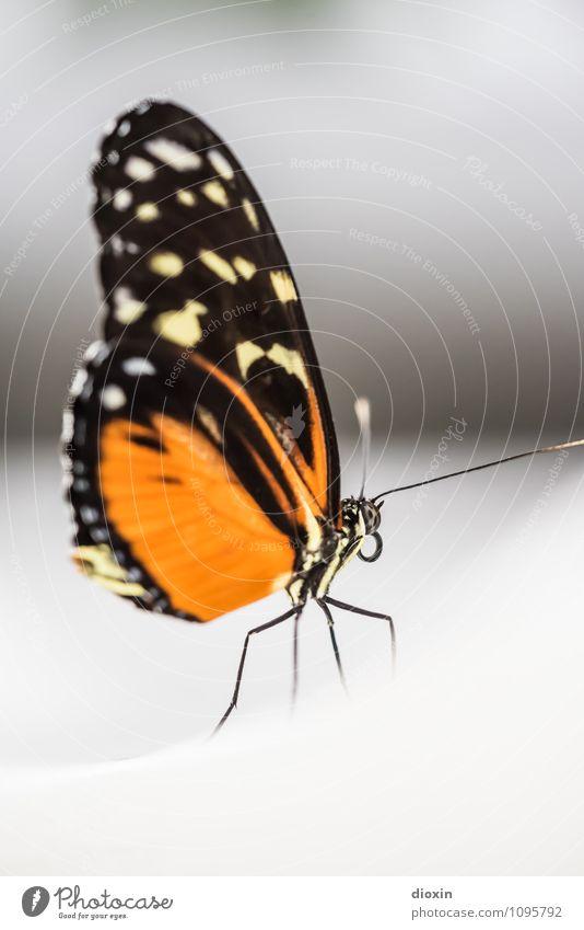 Snow Tier Wildtier Schmetterling Flügel Insekt Facettenauge Rüssel Fühler 1 klein natürlich orange Natur Farbfoto Nahaufnahme Makroaufnahme Menschenleer
