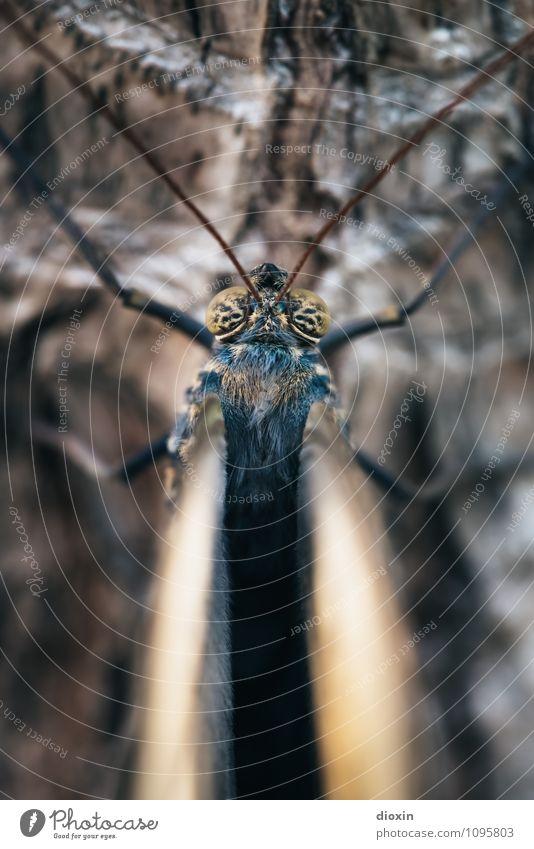Goldeneye Baum Baumrinde Tier Wildtier Schmetterling Flügel Facettenauge Fühler Insekt 1 sitzen klein Natur Farbfoto Nahaufnahme Detailaufnahme Makroaufnahme