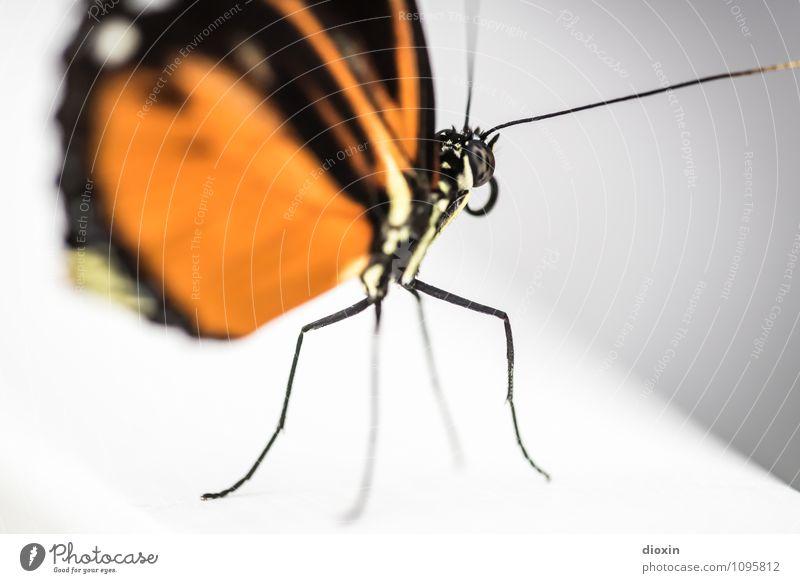 at the edge Tier Wildtier Schmetterling Flügel Fühler Facettenauge Rüssel Insekt 1 exotisch klein nah Leichtigkeit Natur leicht filigran Farbfoto Nahaufnahme
