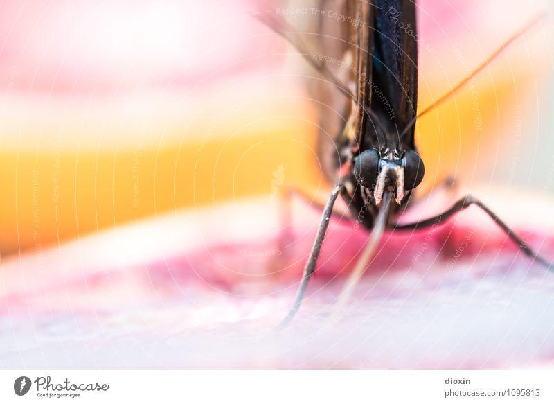 gesunde Vitamine naschen [1] Natur Tier klein Frucht Wildtier frisch Orange Flügel lecker Tiergesicht Schmetterling exotisch Fressen saftig