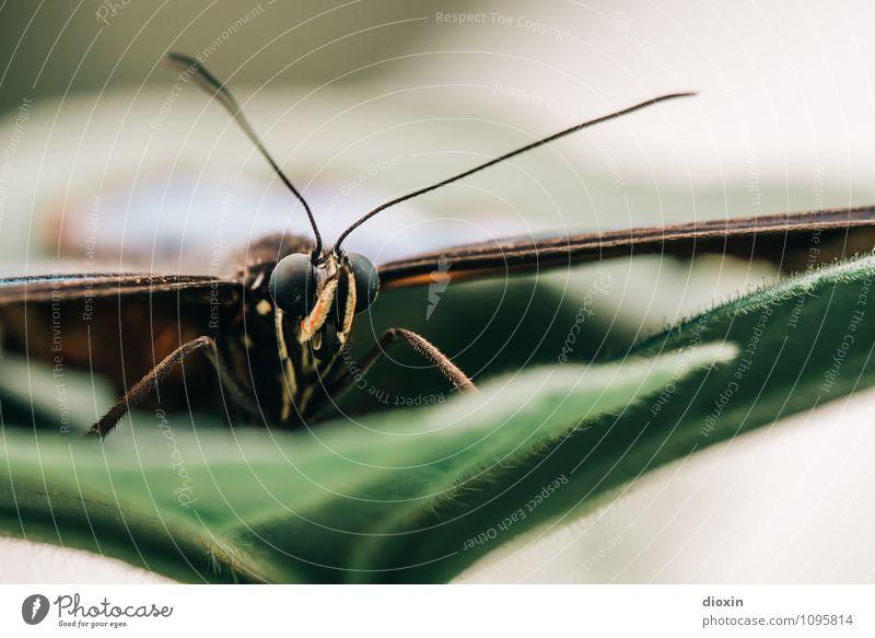 the eagle has landed Natur Pflanze Blatt Tier klein Wildtier sitzen Flügel Insekt Schmetterling exotisch leicht filigran Fühler Facettenauge
