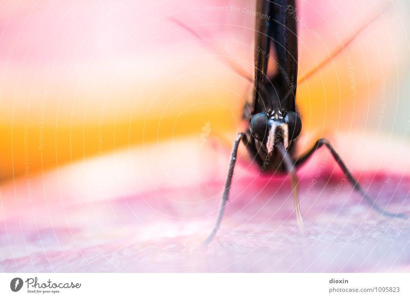 gesunde Vitamine naschen [2] Frucht Orange Tier Wildtier Schmetterling Tiergesicht Flügel Rüssel Facettenauge Insekt 1 Fressen exotisch frisch Gesundheit klein