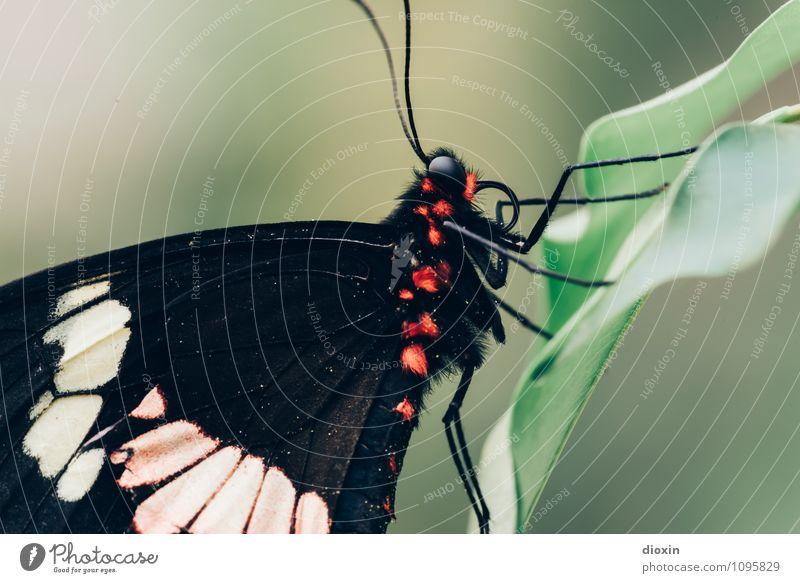 Pelztier Pflanze Blatt Urwald Tier Wildtier Schmetterling Flügel Fell Facettenauge Fühler Insekt 1 sitzen exotisch kuschlig klein nah natürlich Natur leicht