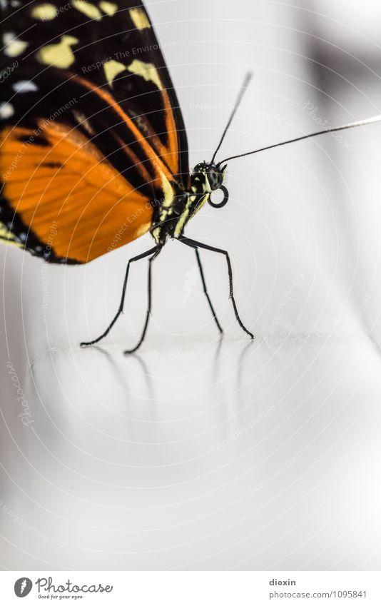 All The Small Things Natur Tier klein Wildtier sitzen Flügel Schmetterling exotisch leicht filigran Fühler Rüssel Facettenauge