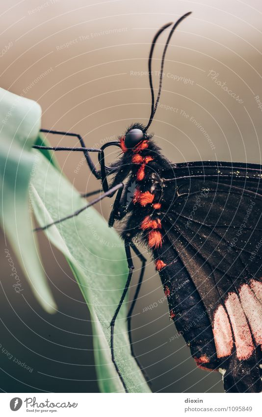 Eleganz Urwald Tier Wildtier Schmetterling Flügel Fell Facettenauge Fühler 1 krabbeln sitzen exotisch klein Natur filigran Leichtigkeit Farbfoto Nahaufnahme