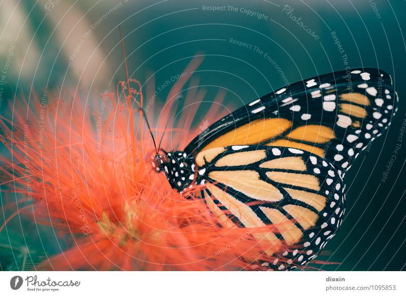 Butterfly´s breakfast [1] Pflanze Blüte exotisch Urwald Tier Wildtier Schmetterling Fressen klein Natur filigran Appetit & Hunger Nektar Farbfoto Nahaufnahme