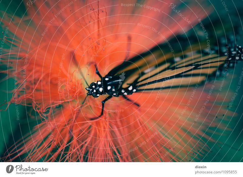 eintauchen Pflanze Blume Garten Park Urwald Tier Schmetterling Flügel 1 Fressen exotisch klein natürlich leicht Leichtigkeit filigran Farbfoto Nahaufnahme