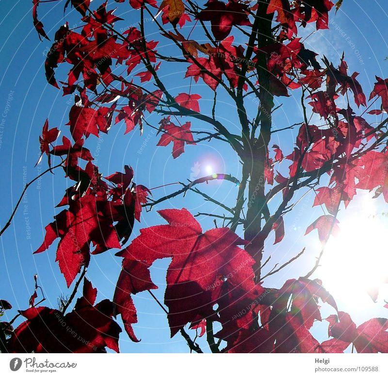 Ahornbaum mit roten Herbstblättern im Gegenlicht vor blauem Himmel Baum Blatt Ahornblatt strahlend Licht stehen vertikal Zusammensein nebeneinander aufeinander