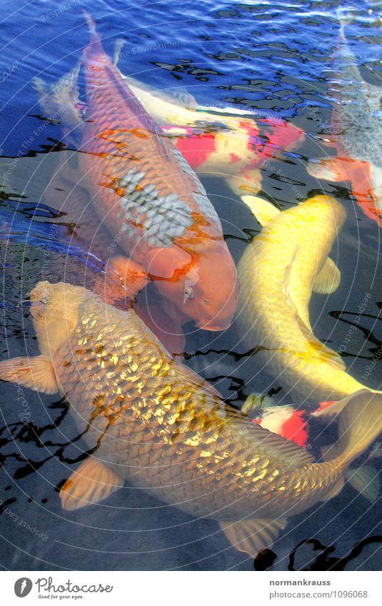 Kois Tier Haustier Fisch Schuppen Tiergruppe Schwimmen & Baden exotisch nass Gartenteich Wasser Teich mehrfarbig Farbfoto Außenaufnahme Textfreiraum oben Tag