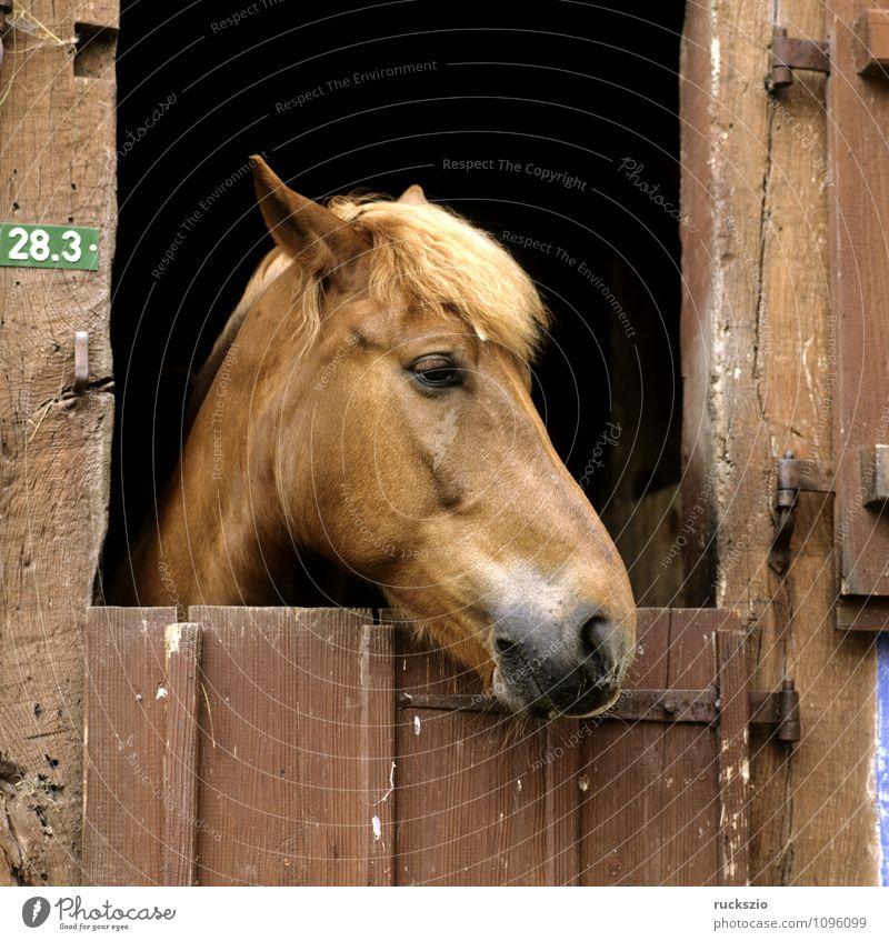 Pferdekopf, Stalltuere Tier Tür Haustier beobachten Stalltueren Scheune herausschauen Fachwerkfassade Fachwerkhaus Säugetier horse Horse's head stable horses