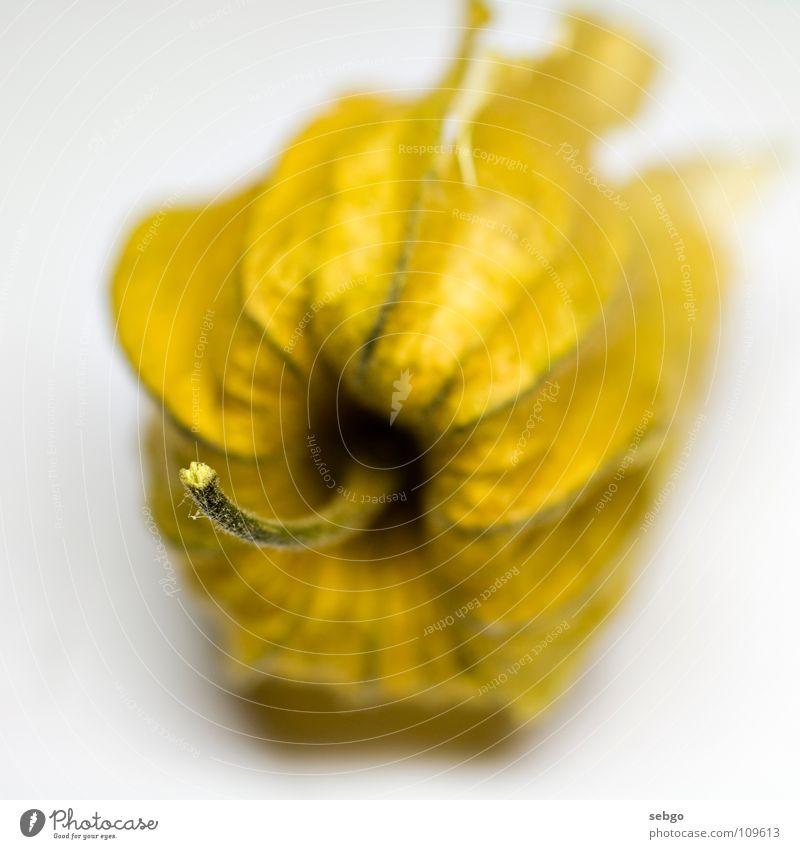 Kapstachelbeere Physalis gelb Trockenblume Vitamin Gesundheit Stengel Frucht orange Beeren Nahaufnahme Makroaufnahme