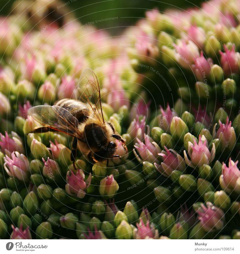 ..bei der Arbeit Wespen Insekt Blume Arbeit & Erwerbstätigkeit anstrengen Fühler rot grün braun Faser Blüte Makroaufnahme Nahaufnahme Munky Klettern Ernährung