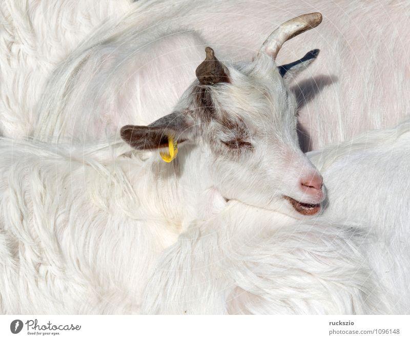 Girgentana Ziege, Haustierrasse Tier Nutztier bedrohlich Ziegen Girgentana-Ziege Agrigento Sizilien Ziegenrasse Aussterben Säugetier Mammalia Wirbeltier