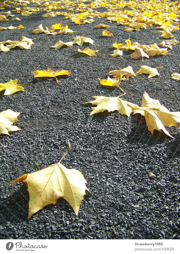Die Gefallenen Herbst Blatt gelb Platane Kontrast gold Jahreszeiten Physik niedlich grau Schatten unten gefallen Stimmung ruhig Farbe Baum Versammlung strahlend