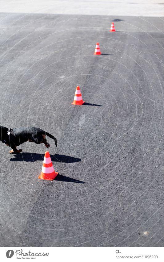 leistungsverweigerung Hund Tier Straße Bewegung Wege & Pfade Spielen grau orange Perspektive laufen Beginn Ziel Haustier Verkehrsleitkegel Dackel ungehorsam