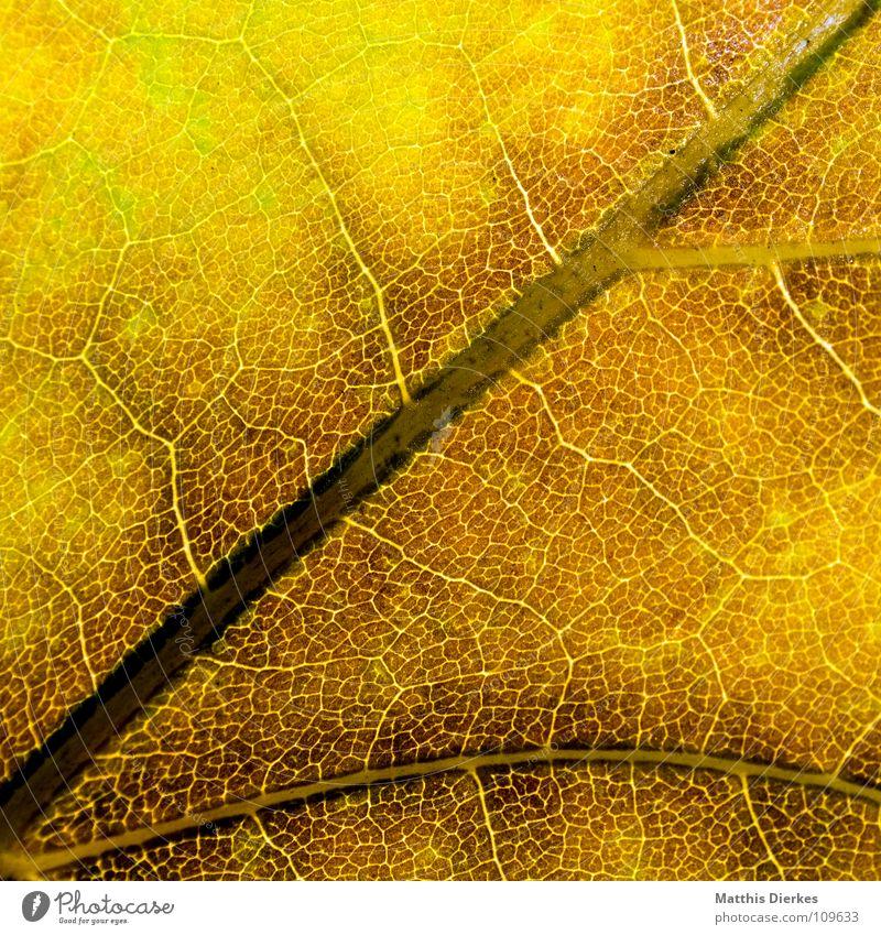 DER HERBST III Herbstlaub herbstlich Herbstfärbung Blattadern gelb Makroaufnahme Bildausschnitt Hintergrundbild