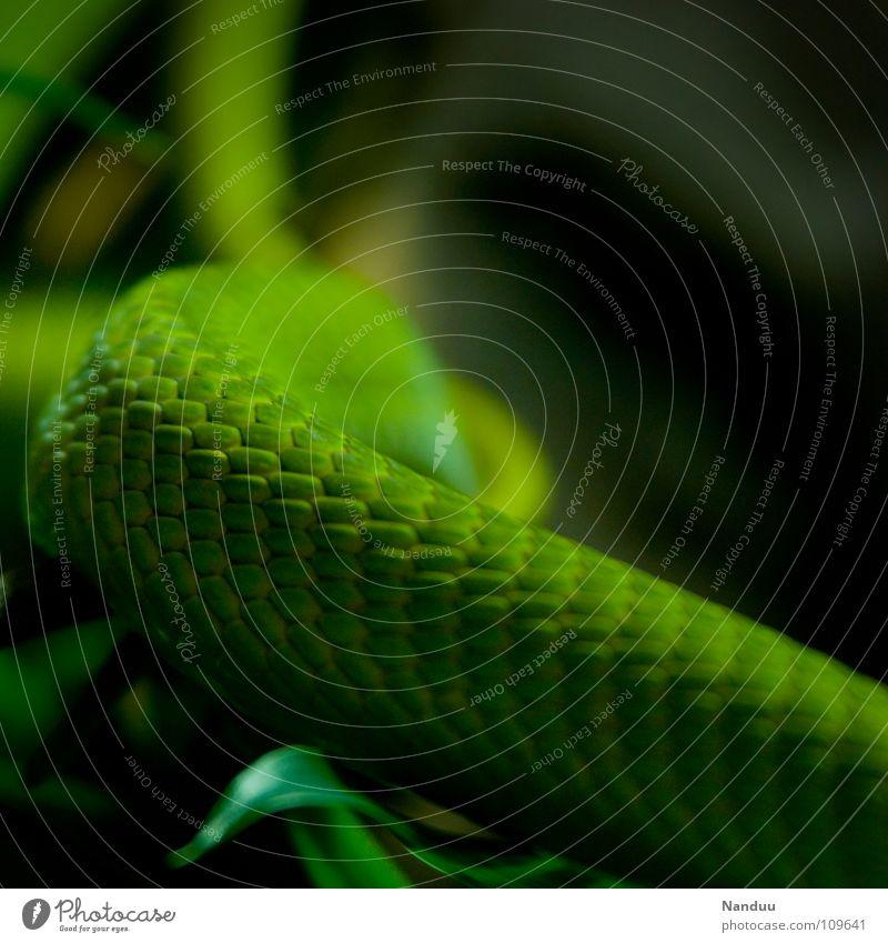Es grünt Natur grün Tier Ast exotisch Gift Umweltschutz Schlange Geäst gekrümmt Reptil Tierschutz giftgrün Schlangenhaut Grüne Mamba