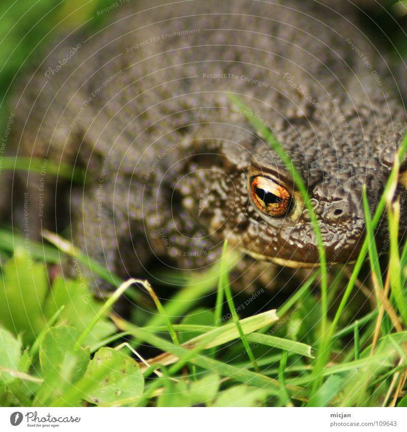Porki Tier hüpfen Blick warten hocken Gras Wiese grün braun groß Kaulquappe Ekel gruselig Unschärfe Hintergrundbild Küssen Märchen Konzentration Frosch Kröte