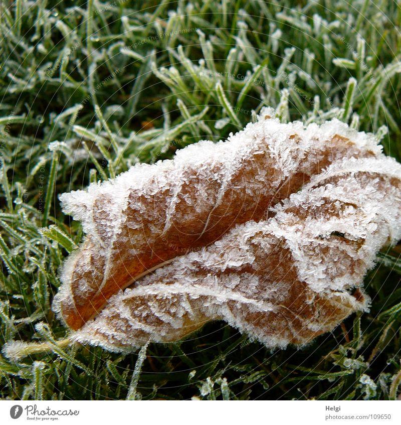 verwelktes braunes Blatt mit Eiskristallen liegt auf einer gefrorenen Wiese Herbst Winter frieren kalt Vergänglichkeit Gras Halm Morgen Raureif weiß grün Garten