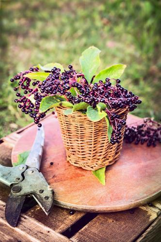 Holunder auf dem Gartentisch Natur Sommer Gesunde Ernährung gelb Leben Stil Holz Lebensmittel Lifestyle Frucht Design Tisch Ernte Bioprodukte
