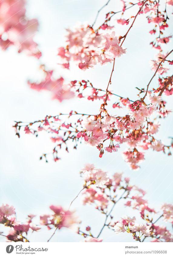 fruchtlos Natur Baum Frühling Blüte natürlich rosa frisch Fröhlichkeit türkis Frühlingsgefühle Kirschblüten Kirschbaum