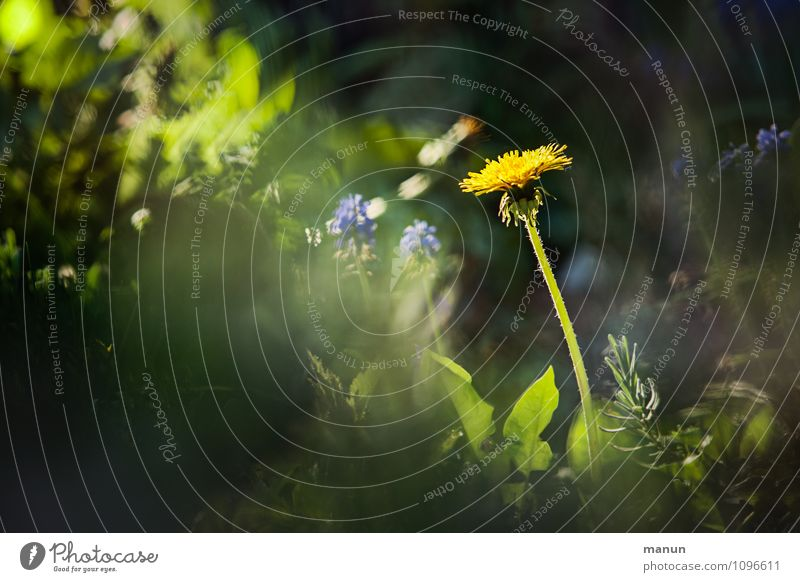 zahnlos Natur Pflanze grün Blume gelb Frühling natürlich leuchten Löwenzahn Frühlingsgefühle Wildpflanze