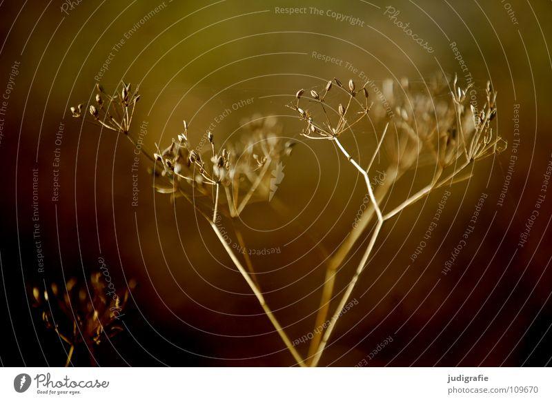 Wiese trocken Blüte Blume Pflanze Stengel Doldenblütler Bedecktsamer weiß braun schwarz Herbst Umwelt Wachstum gedeihen schön Gift Heilpflanzen dunkel Farbe