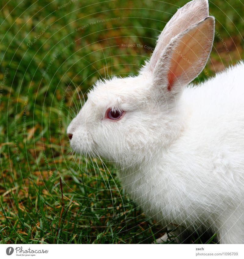 folge dem weißen Kaninchen schön grün Tier Wiese Gras Garten Park Feld niedlich Ostern Fell Haustier Tiergesicht Hase & Kaninchen füttern