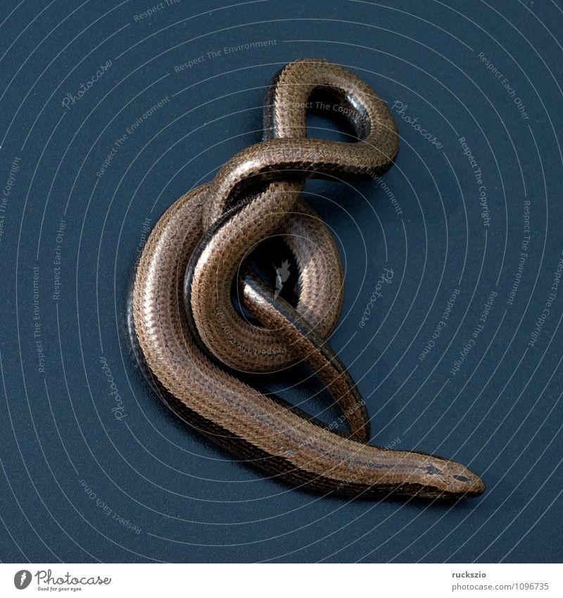 Blindschleiche, Anguis, fragilis, Echsenart, Echse, Natur Tier schwarz Hintergrundbild Wildtier frei Stillleben Schlag Objektfotografie Reptil neutral