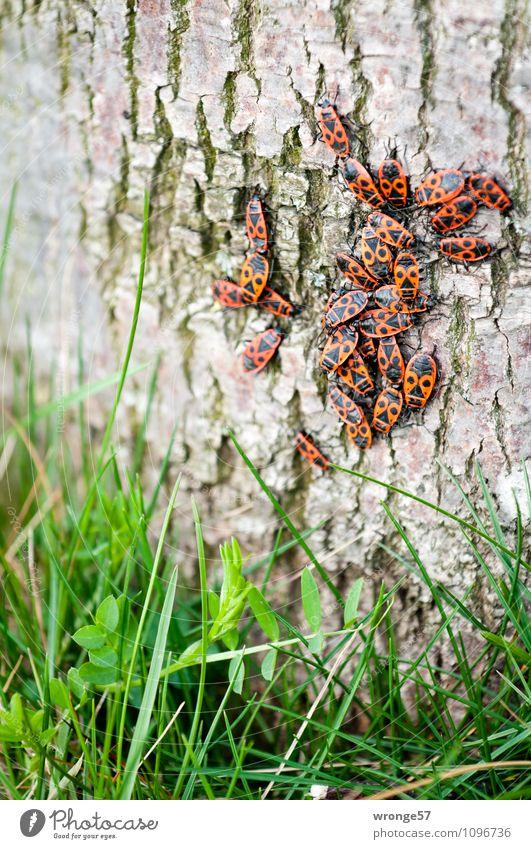 Krabbelgruppe Pflanze grün Baum rot Tier schwarz Umwelt Herbst Frühling Gras klein Wildtier Tiergruppe Baumstamm viele Zusammenhalt