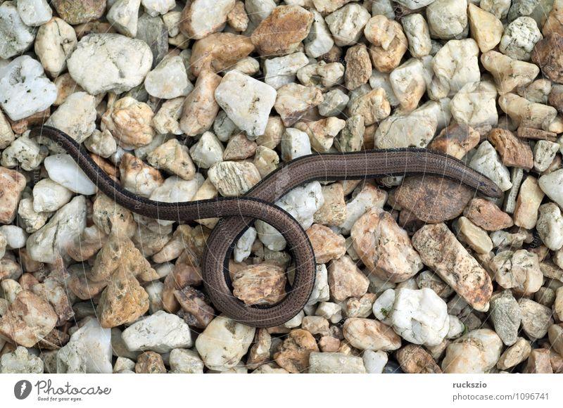 Blindschleiche; Anguis; fragilis; Echsenart; Echse; Natur Tier authentisch beobachten Reptil Echte Eidechsen Lizard