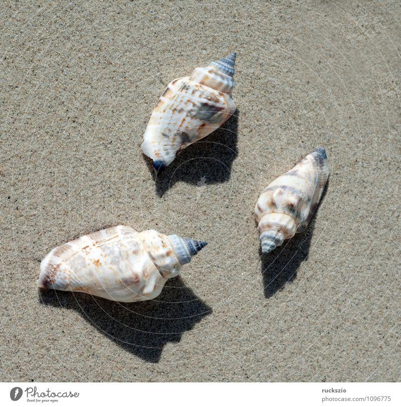 meeresschnecken, Astraea, Meer Natur Tier Sand Wasser Nordsee Ostsee authentisch weiß Wasserschnecken undosa Schnecken Wassertier Sandstrand Angespült stranded