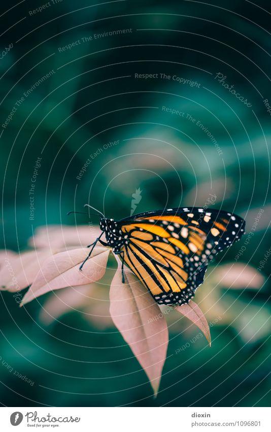 unbeschwert Pflanze Blatt exotisch Urwald Tier Wildtier Schmetterling Flügel sitzen klein natürlich Leichtigkeit Natur filigran leicht zart Farbfoto Nahaufnahme