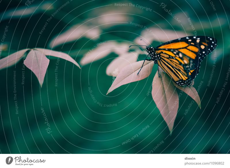 Leichtigkeit [2] Urwald Tier Wildtier Schmetterling Flügel Insekt 1 sitzen schön klein natürlich Natur leicht Farbfoto Nahaufnahme Detailaufnahme Makroaufnahme