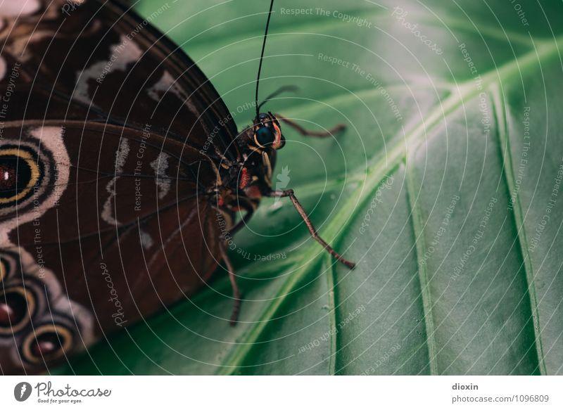 Mondo Bongo Pflanze Blatt Tier Wildtier Schmetterling Flügel Insekt Facettenauge Fühler 1 sitzen warten klein natürlich Natur Farbfoto Nahaufnahme