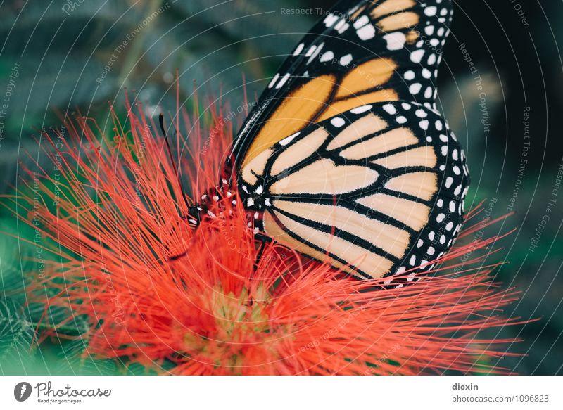 butterfly sucks [2] Umwelt Natur Pflanze Tier Blüte Urwald Wildtier Schmetterling Flügel Insekt 1 Fressen klein natürlich leicht filigran Farbfoto Nahaufnahme