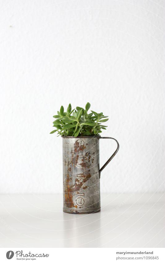 grünzeug I Natur Pflanze Tier Kaktus Blatt Grünpflanze Topfpflanze exotisch Sukkulenten frisch saftig weiß alt Rost Kannen Freiraum Farbfoto Innenaufnahme