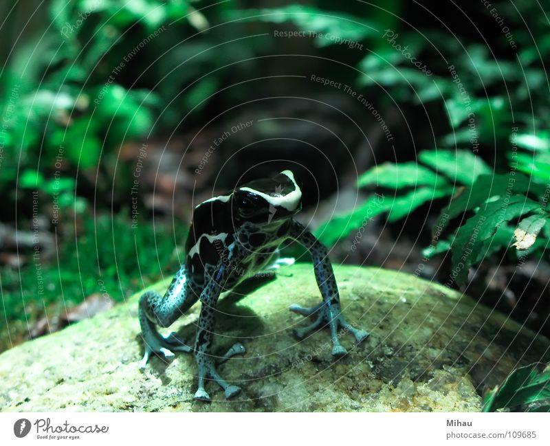 Grün-schwarzer Frosch grün Tier springen niedlich Neugier Zoo Wachsamkeit Interesse Erwartung Nervosität Lurch schaulustig